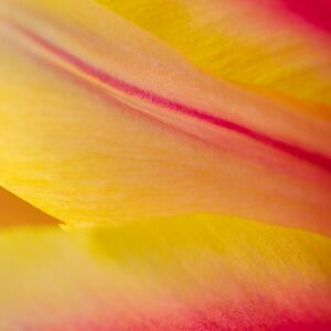 tulip, leaf, flower